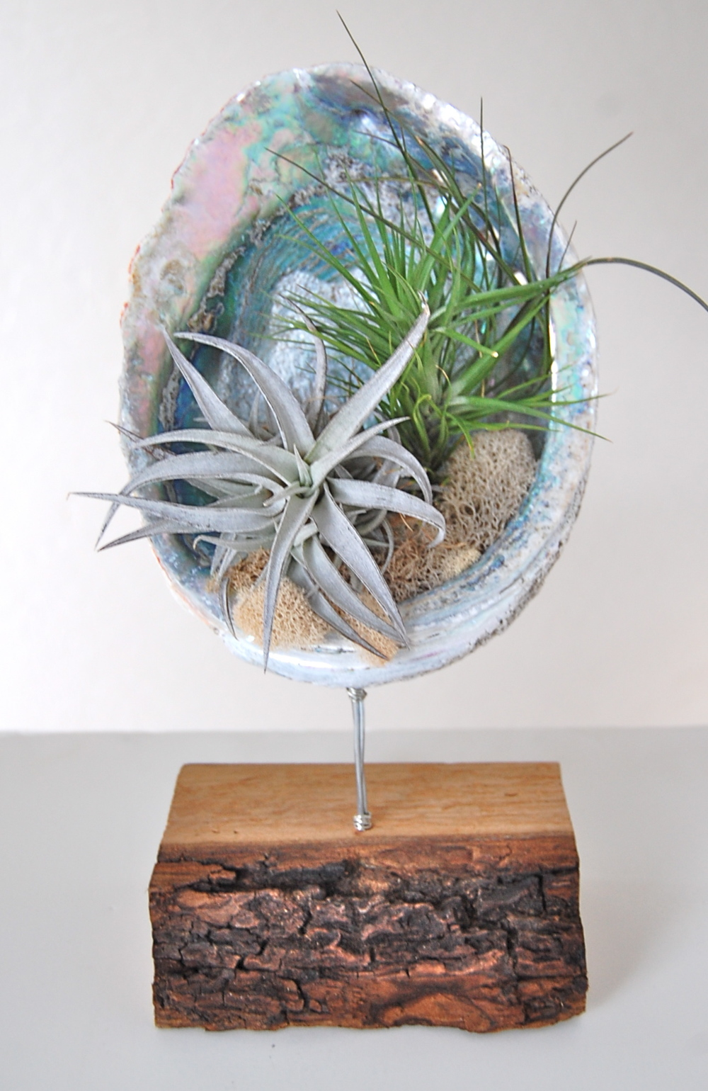 "ABALONE SHELL STAND WITH AIR PLANTS 8""-9"" shell on wooden stand- $69. (Sold Out)"