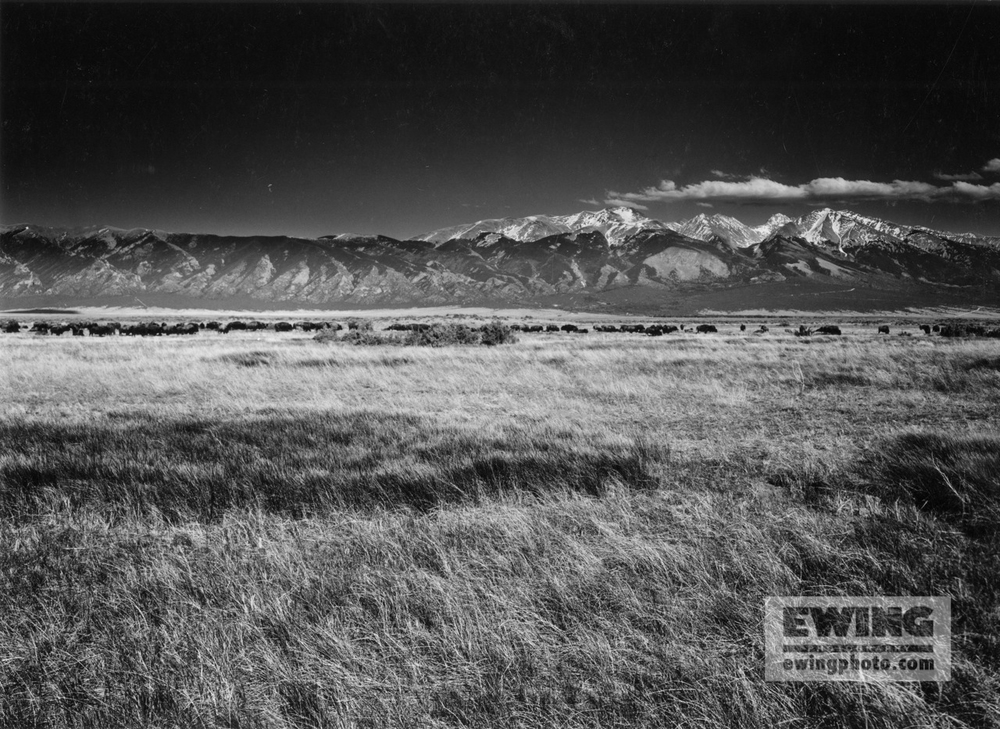Buffalo, Zapata Ranch Great Sand Dunes National Park, Colorado