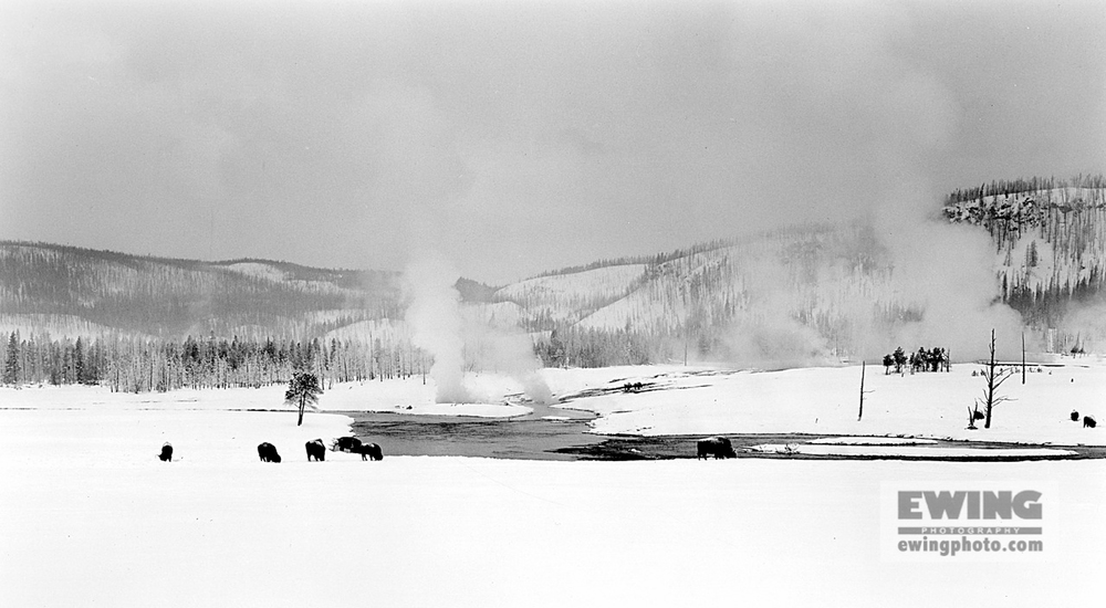 Buffalo, Midway Geyser Basin Yellowstone, Wyoming