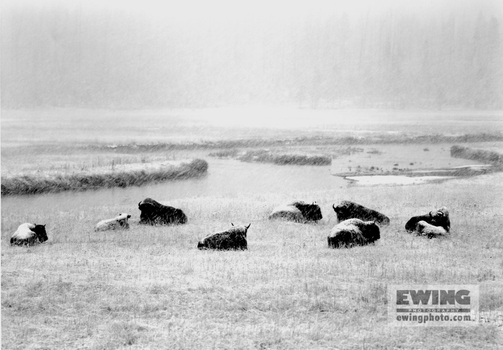 Buffalo Yellowstone National Park, Wyoming