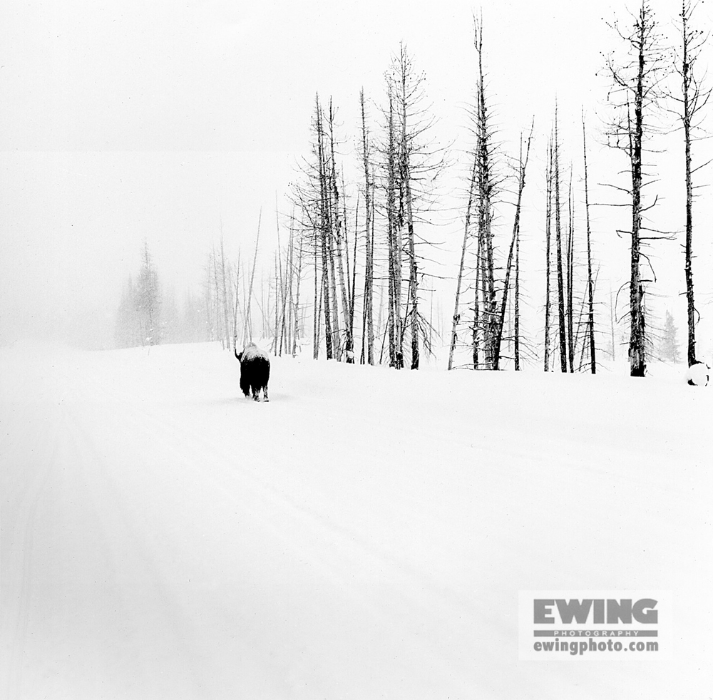 Buffalo Walking Away Yellowstone, Wyoming
