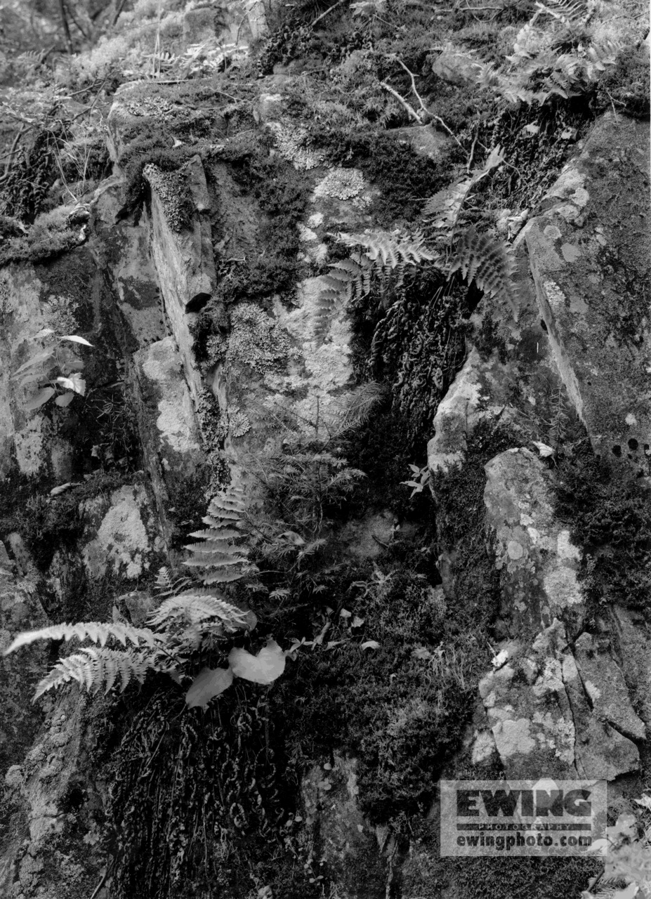 Lichen & Ferns on a Cliff Top of Preble Island, Maine