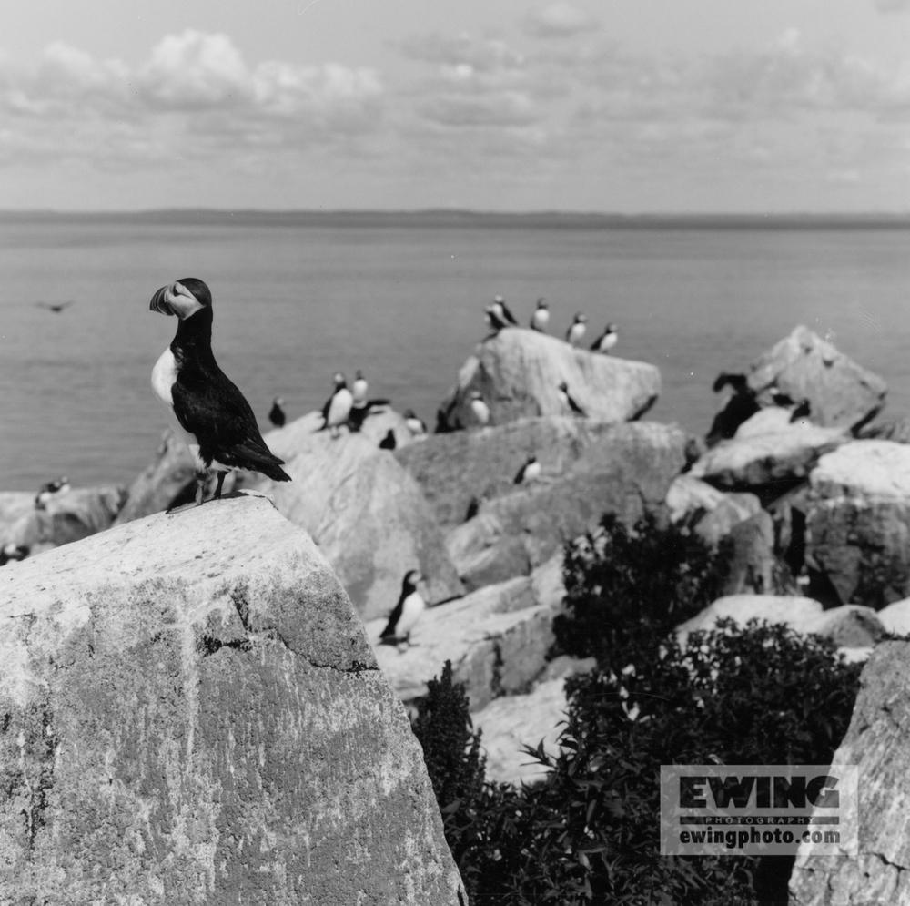 Puffin, Seal Island Machias, Maine