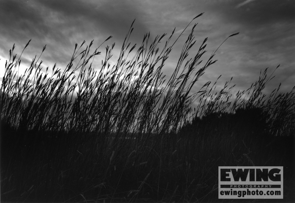 Tall Grass at The Land Institute, Hagg Property, Salina, KS