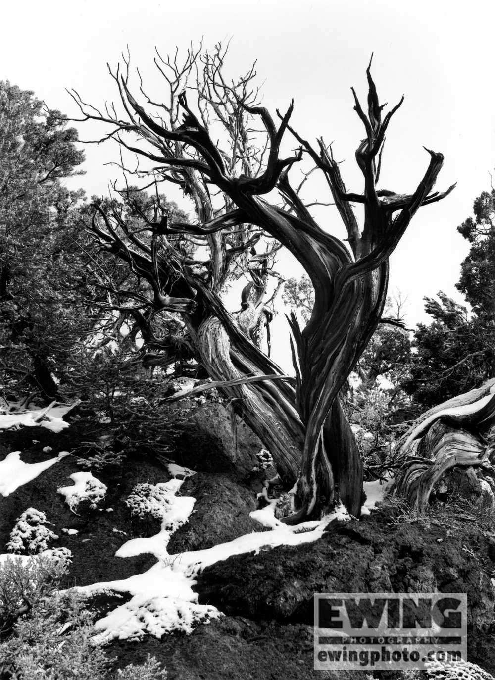 Bristlecone Pine Connors Pass, Nevada