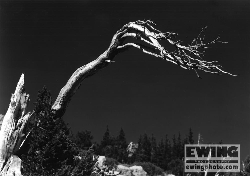 Bristlecone Pine Mt Goliath, Mt Evans Rd. Colorado