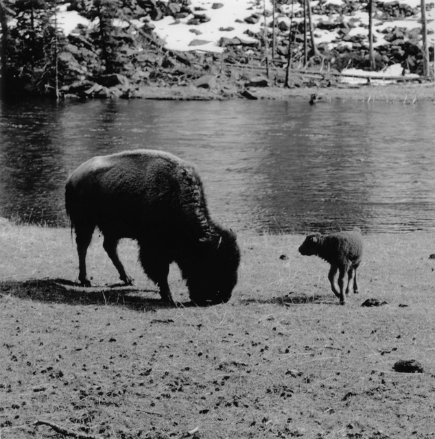 Buffalo Mother and Calf Yellowstone Wyoming