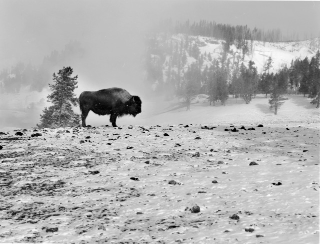 Buffalo Yellowstone National Park  Wyoming