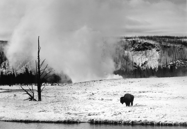 Buffalo, Midway Geyser Basin  Yellowstone National Park, Wyoming
