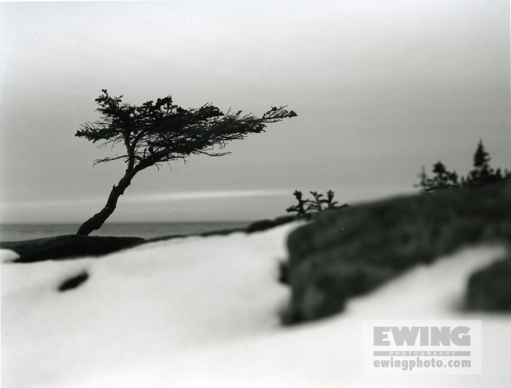 Sarah's Tree, Coastal Maine