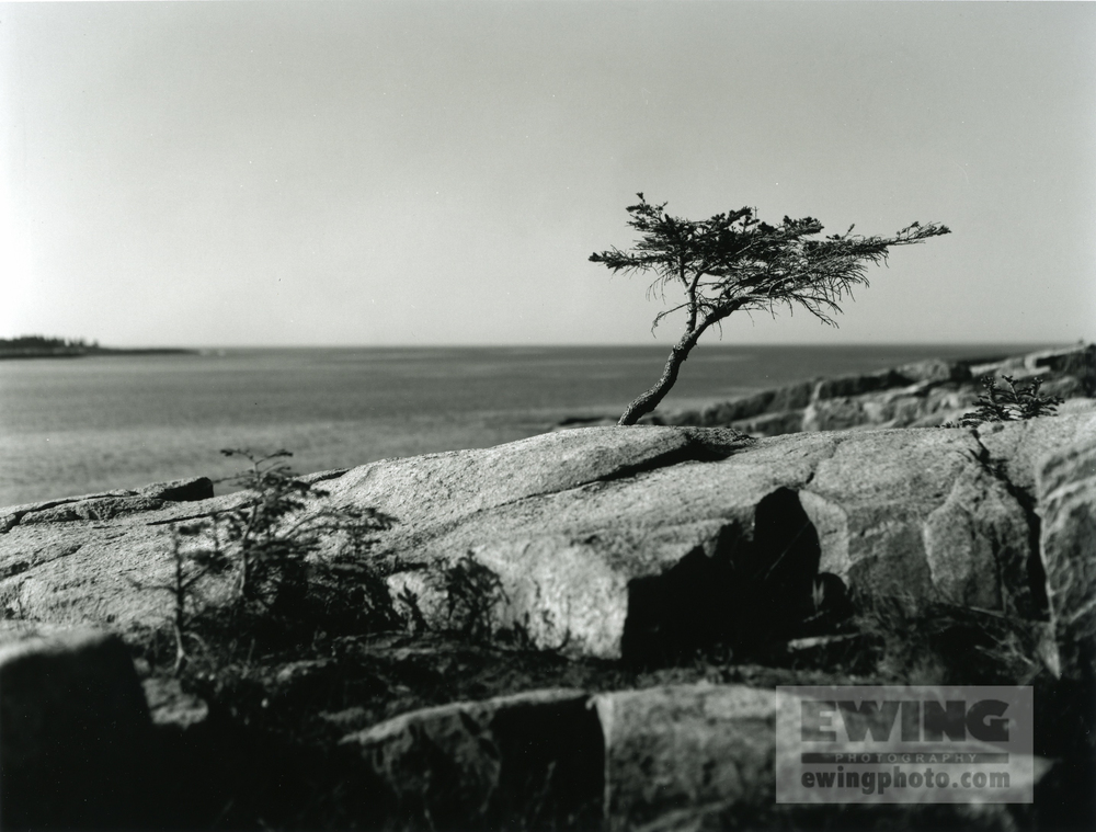Sarah's Tree Coastal Maine 2
