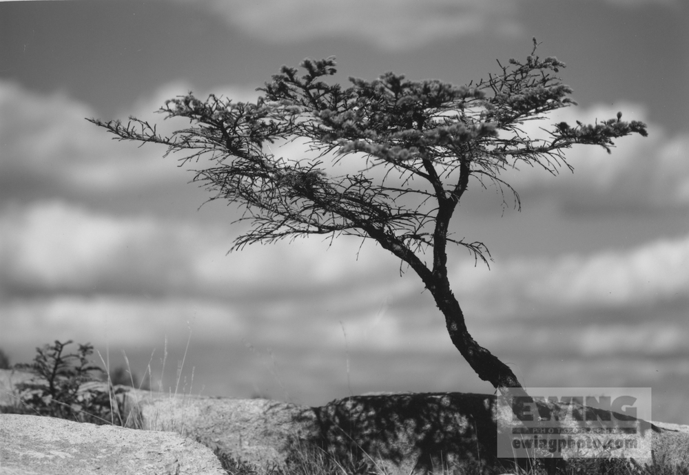 Sarah's Tree Coastal Maine October