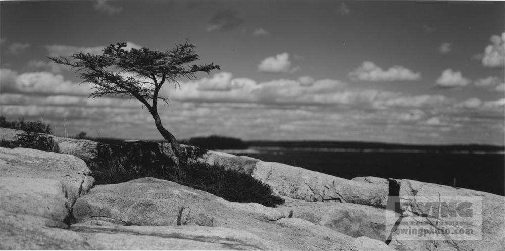 Sarah's Tree Coastal Maine October 9