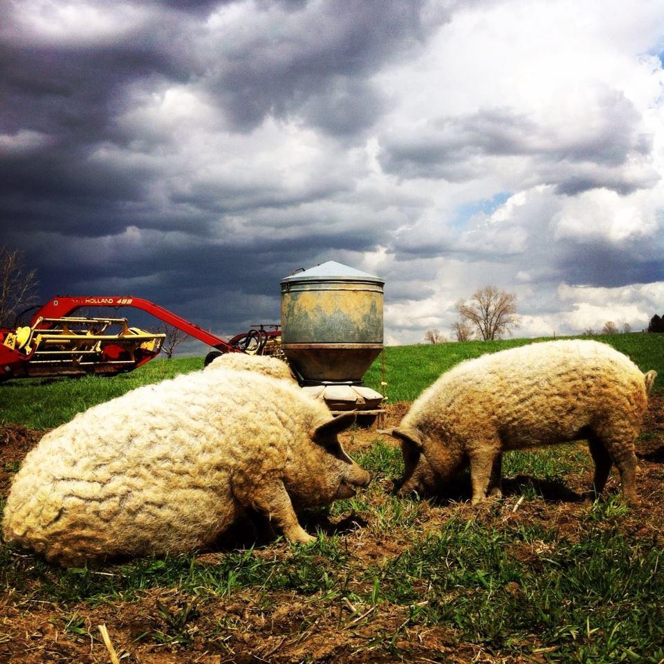 wooly pigs.jpg
