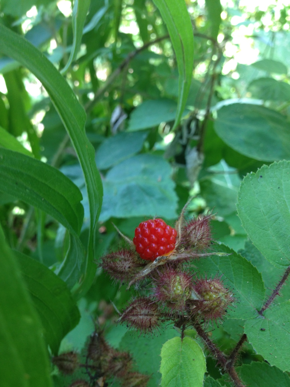 The wineberries will ripen to a deep orange red, and will release from the bush easily when they are ready. Of all the berries, these are my absolute favorite. They have a raspberry/citrus flavor.