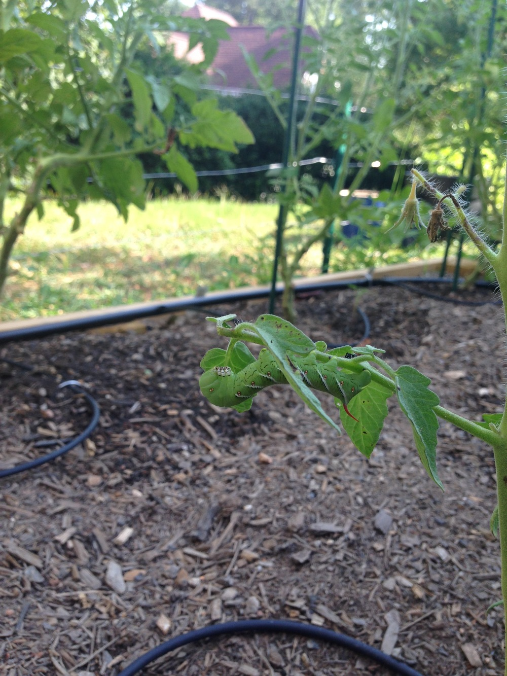 Hornworm on my Lemon Boy tomato plant