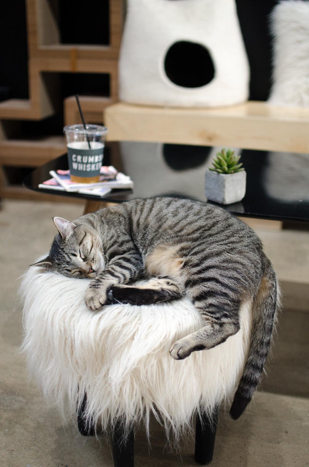 Crumbs & Whiskers Cat Cafe Los Angeles Santa Barbara Photographer Miranda Kelton Photography-3.jpg