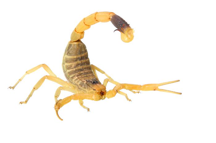 Deathstalker Scorpion shutterstock363903344.jpg