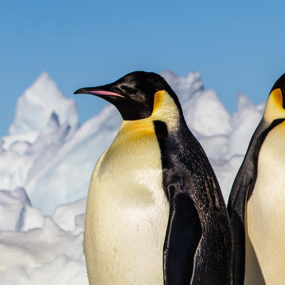 emperor-penguin_thumb.ngsversion.1489095005303.adapt.1900.1.jpg