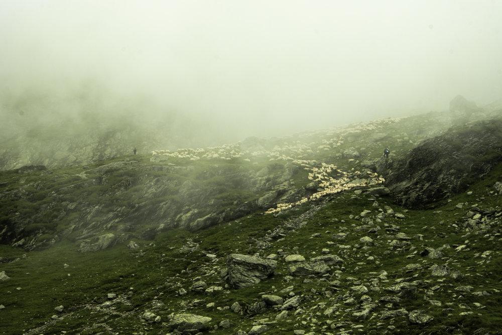 Sheep-Transfagarasan-Romania.jpg
