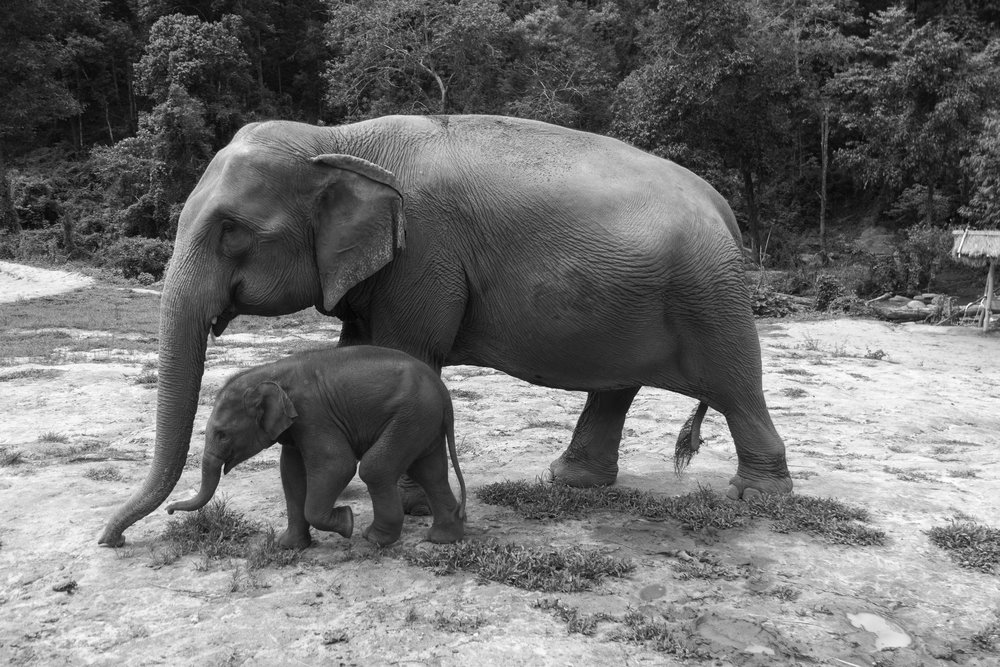 The-world-of-elephants-black-and-white-Thailand--walking-together.jpg