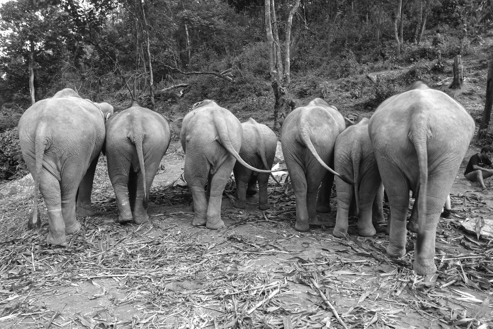 The-world-of-elephants-black-and-white-Thailand-cute-butts.jpg