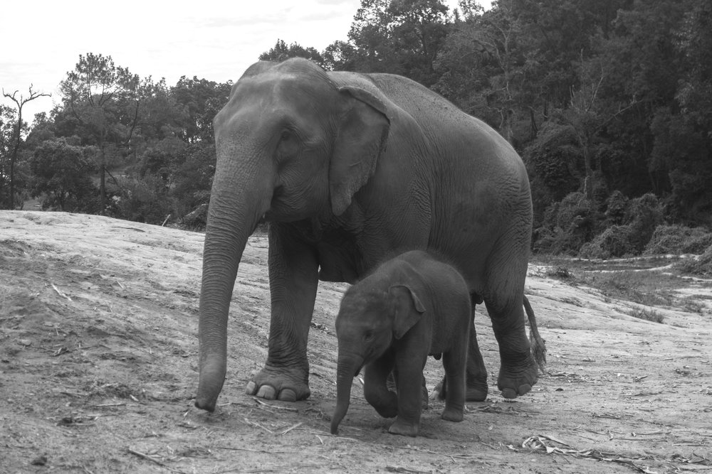 The-world-of-elephants-black-and-white-Thailand-playing-with-mommy.jpg