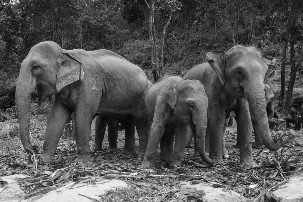 The-world-of-elephants-black-and-white-Thailand-together.jpg