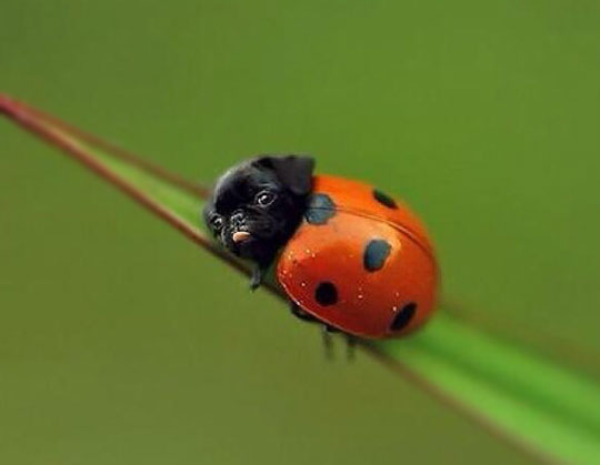 Image: http://themetapicture.com/the-rare-ladypug/