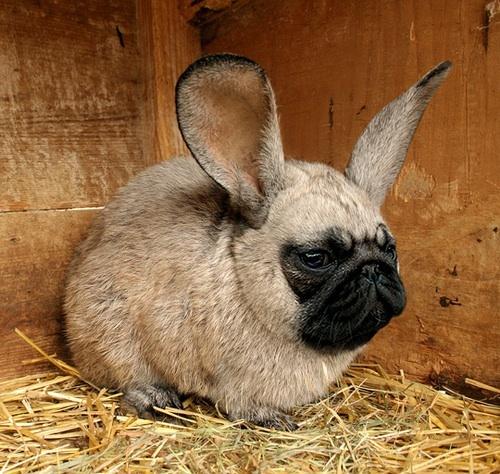 Image;http://mugen.wikia.com/wiki/File:Pug_bunny.jpg