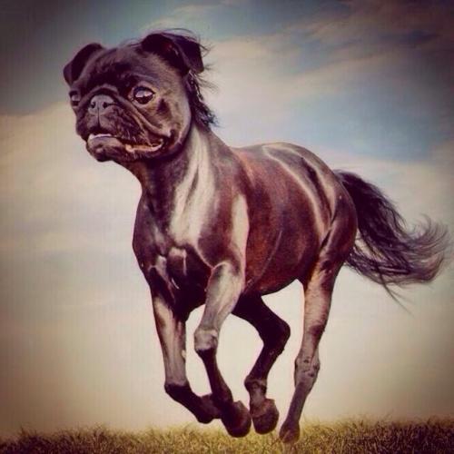 Image:http://rachelvision.wordpress.com/2014/01/23/a-pug-horse/