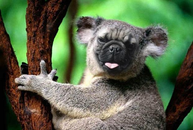 Image:http://teafanknee.wordpress.com/2013/09/25/pug-koala/