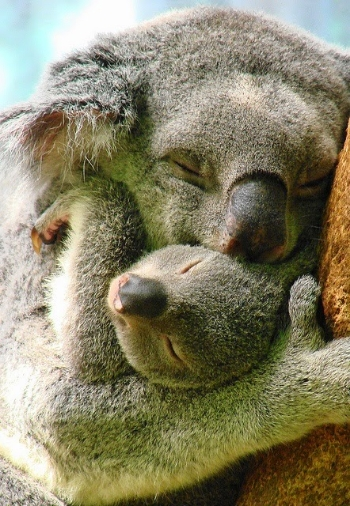 Source: http://1.bp.blogspot.com/-mJbkRoWoTs8/VCKUL0O6HhI/AAAAAAAABNY/mayDpTLiWBs/s1600/koala-mother-baby-cuddles-pics-cute-animal-pictures.jpg