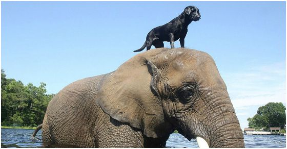 Bella the black lab & Bella the African elephant: http://bit.ly/1ylYkVK