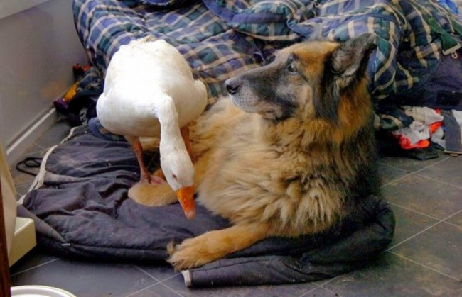Rex the german shepherd & Geraldine the goose: http://bit.ly/1O8BUy