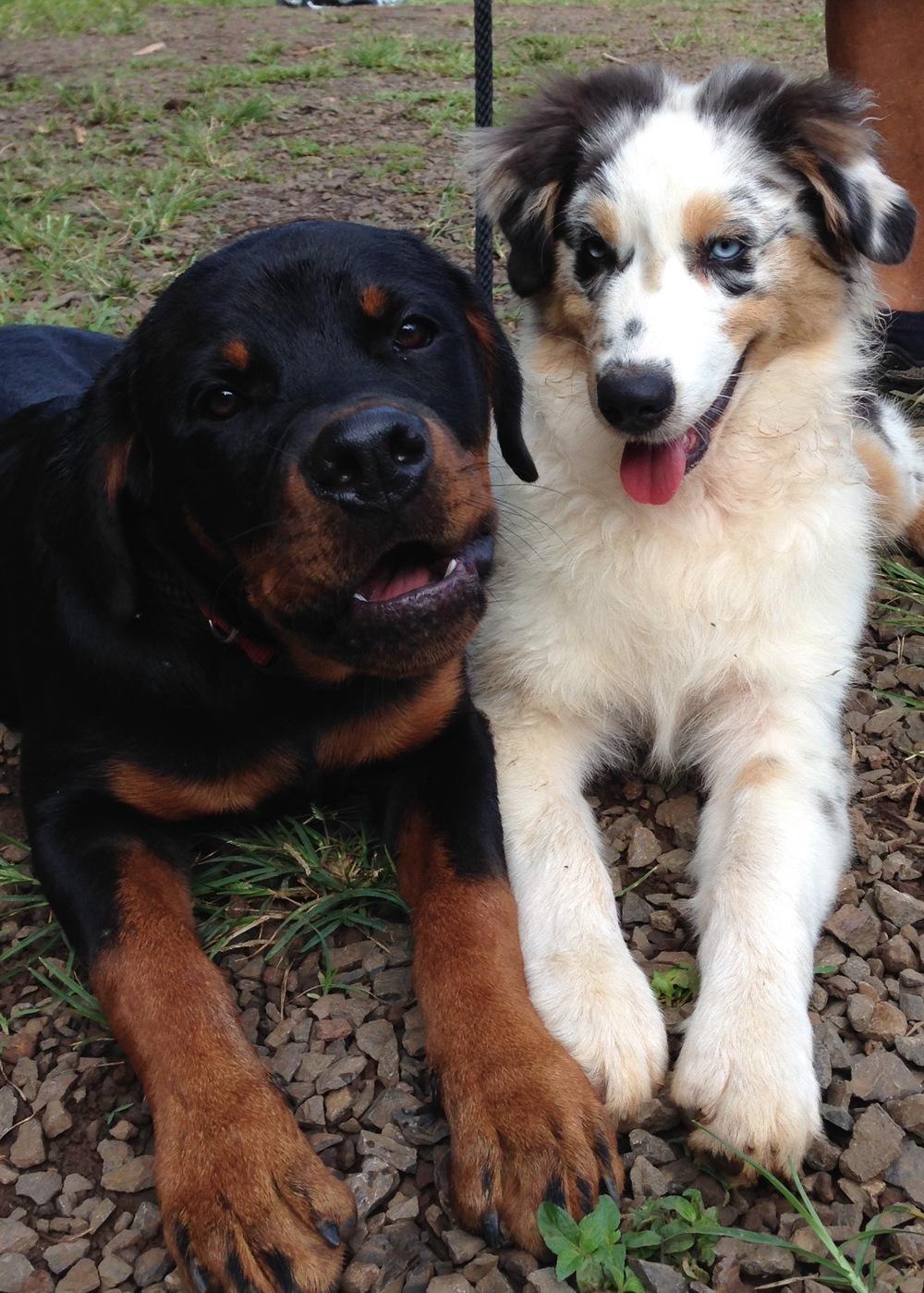 Duke and Kana, playmates close to the same age. 5/14/2016