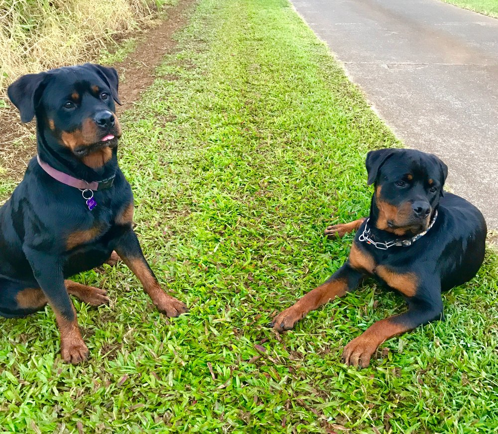 taking security forse on a morning walk.  2017Bella and Duke