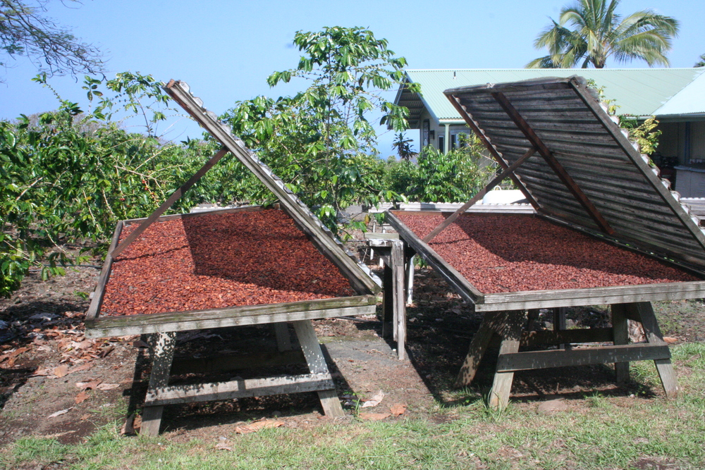Chocolate beans drying at Original Hawaiian Chocolate