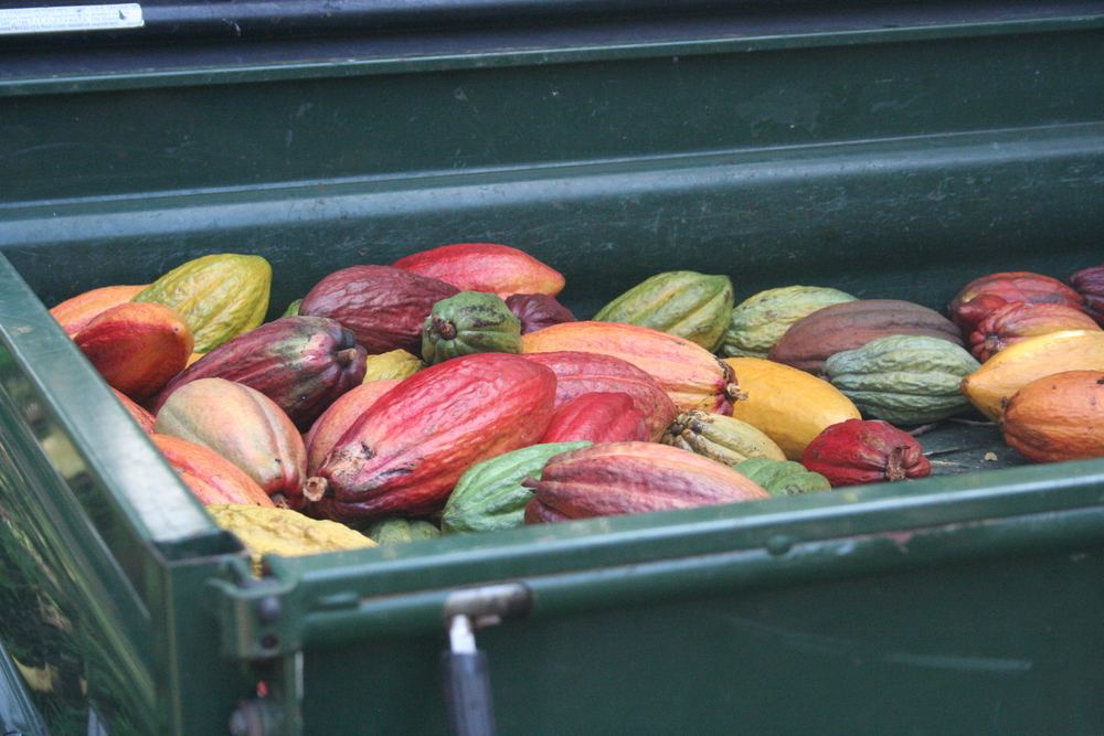 Cacao at Original Hawaiian Chocolate