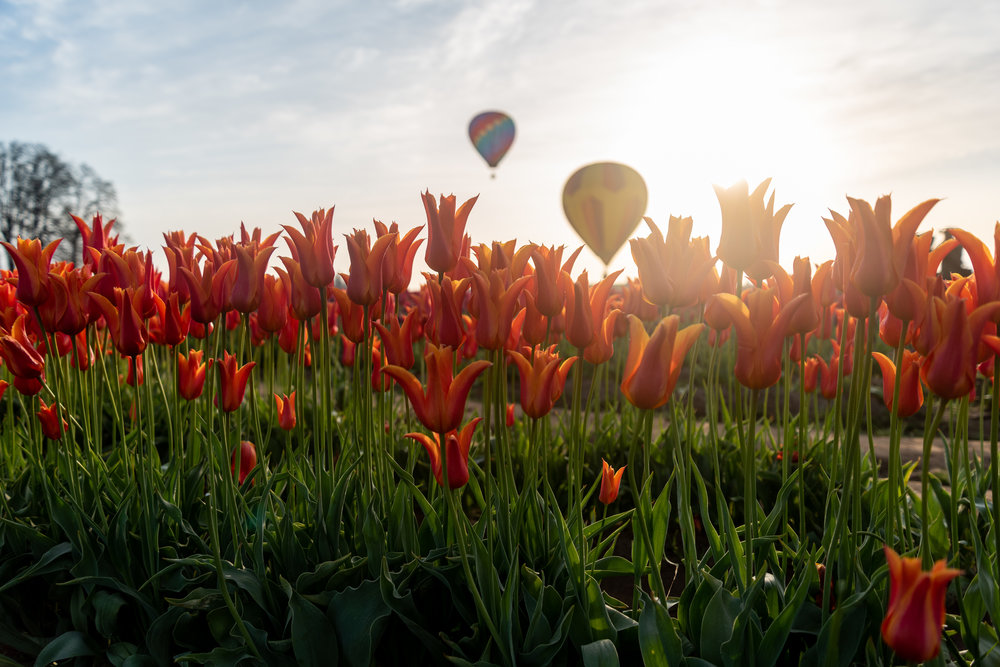 I've been to the Tulip Festival almost every year since I've moved back to Portland and this was the first year I've seen them successfully launch the hot air balloons.