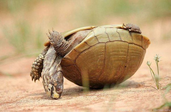 Box turtle.png
