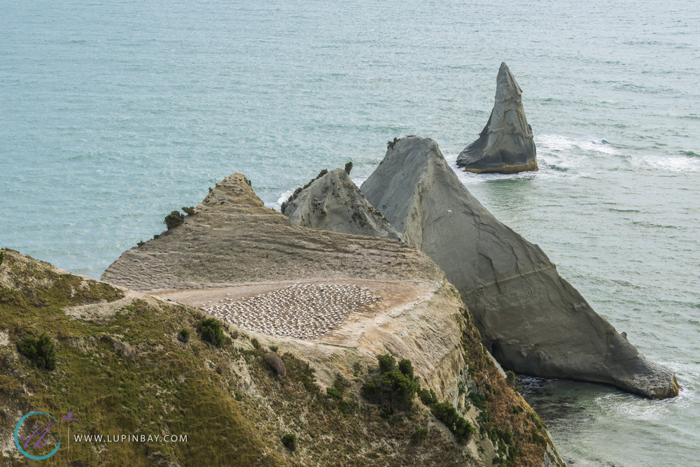 LupinBay_Cape_Kidnappers_0718