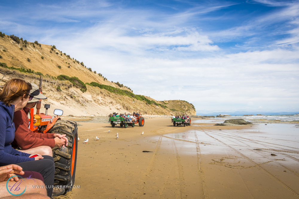 LupinBay_Cape_Kidnappers_Tractor_Ride_0808
