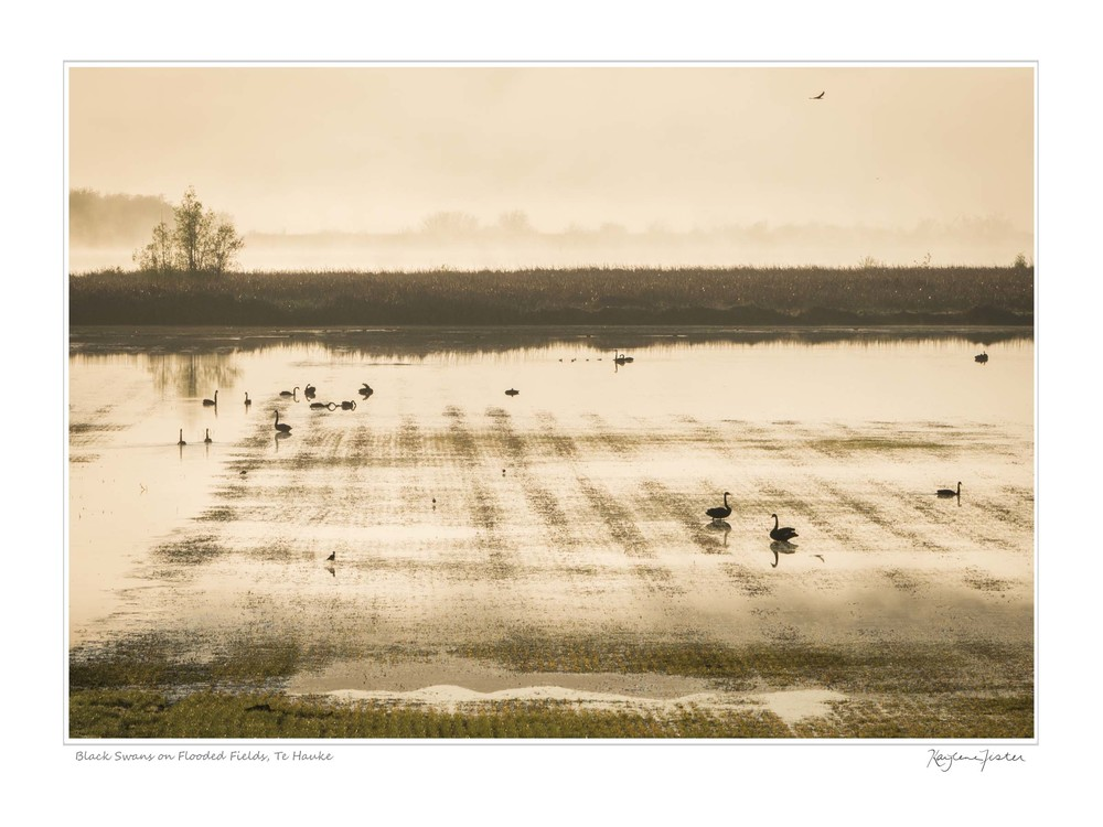 0061:4947 Black Swans on Flooded Fields, Te Hauke