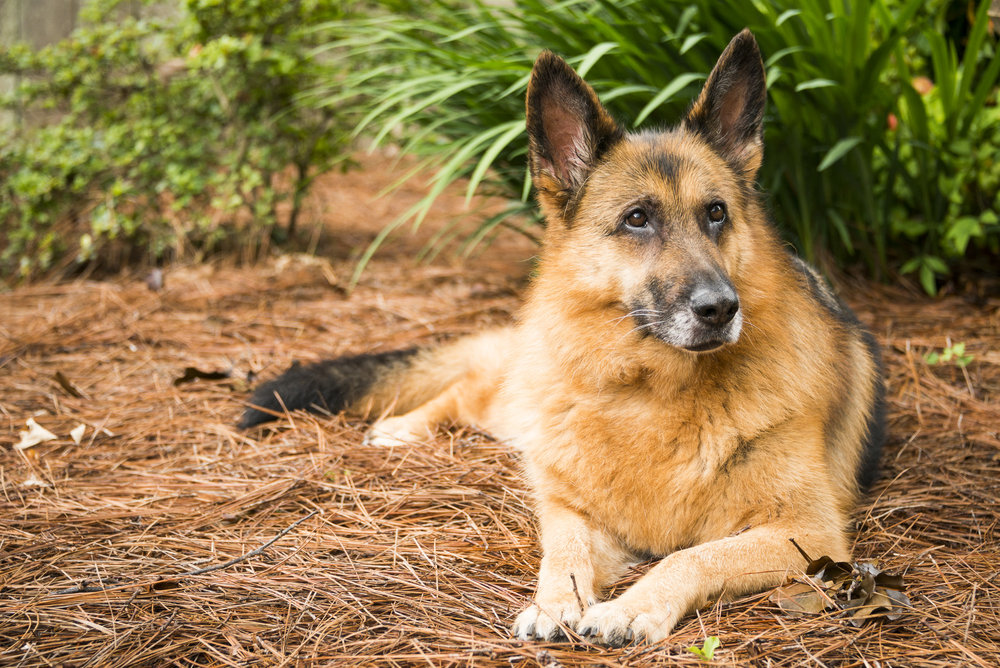 LupinBay-Dog-German Shepherd-8130.jpg