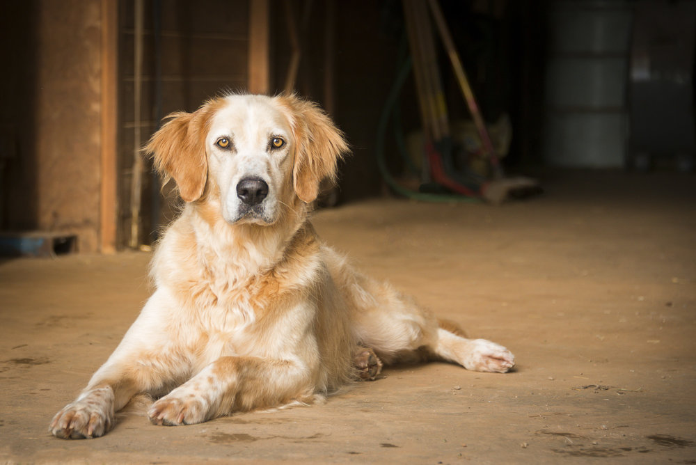 LupinBay-Dog-Golden Retriever-0738.jpg