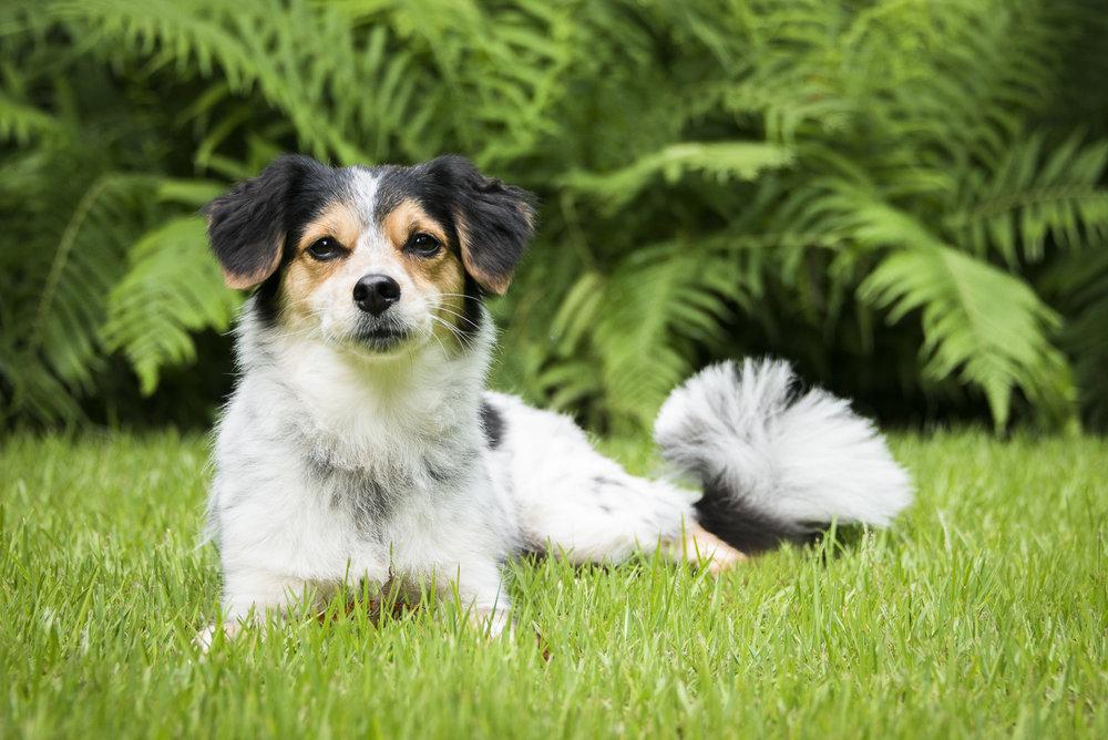 LupinBay-Dog-Papillion-Jack Russell-1169.jpg