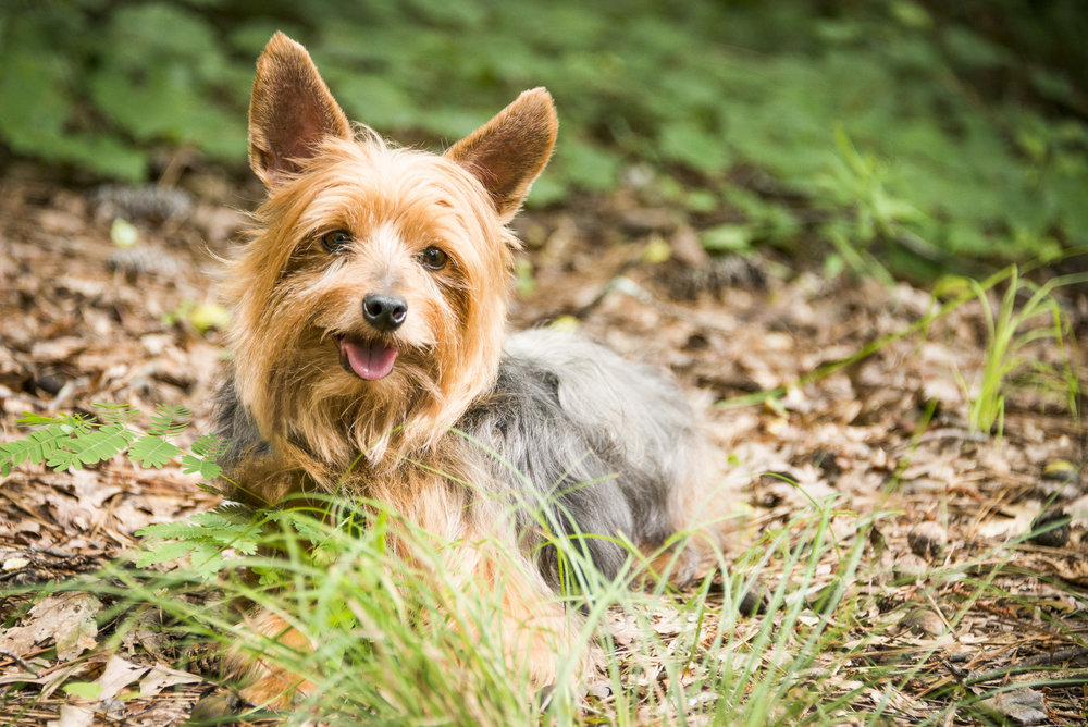 LupinBay-Dog-Silky Terrier-0979.jpg