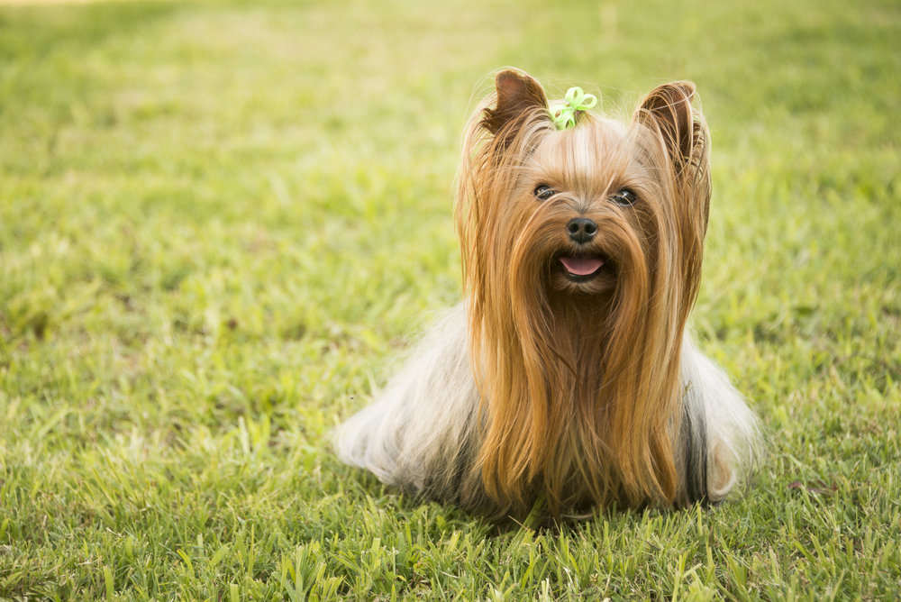 LupinBay-Dog-Yorkshire Terrier-8429.jpg