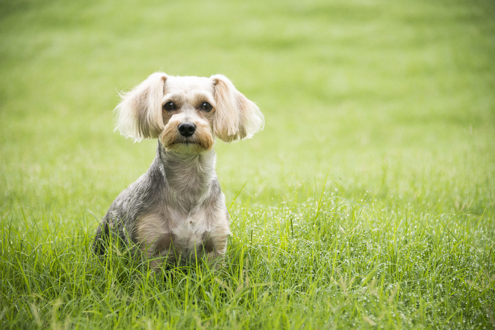 LupinBay-Dog-Yorkie Poo-9676.jpg